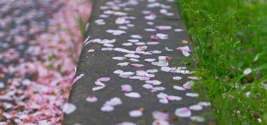 桜も終わり…